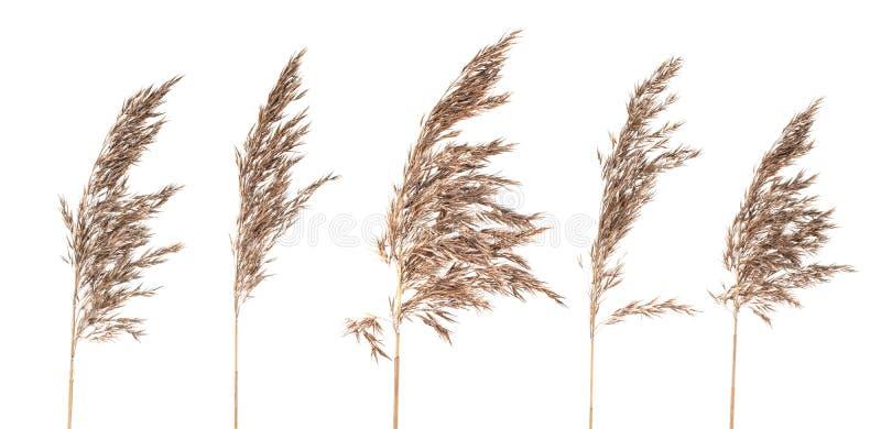 Panicles secs d'herbe de buisson sur le fond blanc photos libres de droits