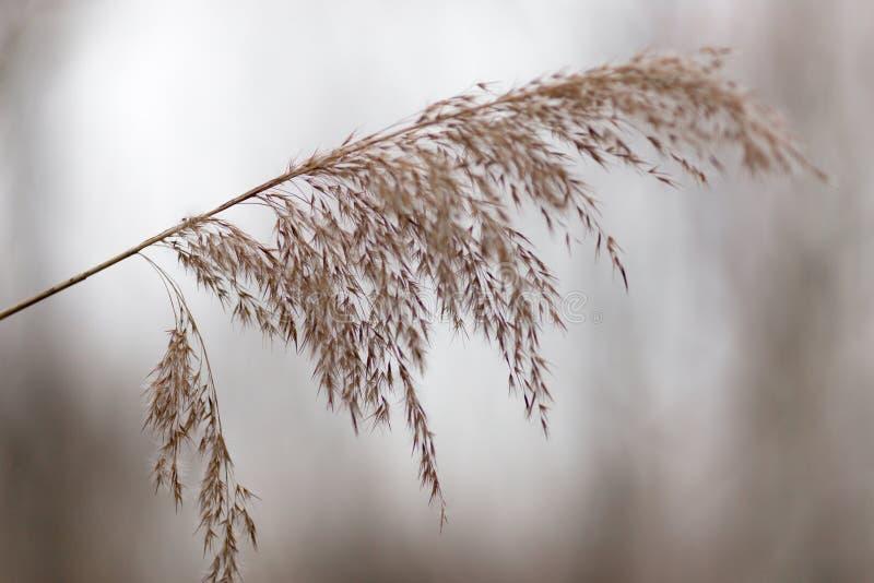 Panicles secs d'herbe de buisson sur le fond naturel photographie stock libre de droits