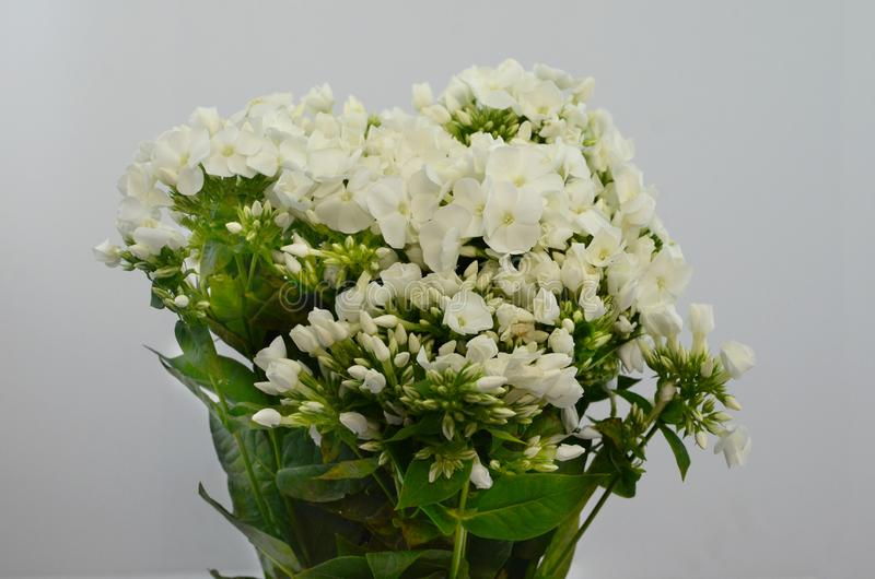 Paniculata bianco del flox su fondo bianco fotografia stock