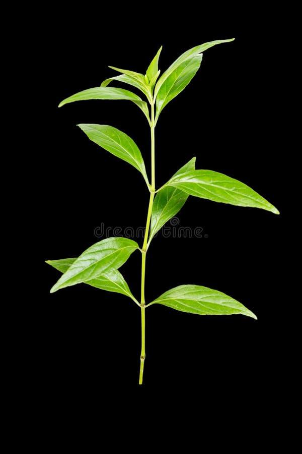 Paniculata d'Andrographis photos libres de droits