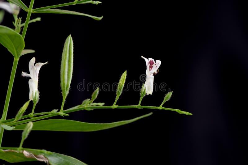 Paniculata d'Andrographis (Burm f ) Nees, arbre photo libre de droits