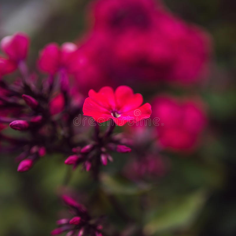 Paniculata del flox, varietà del clayton di signore, flox con i flowrs rossi fotografia stock