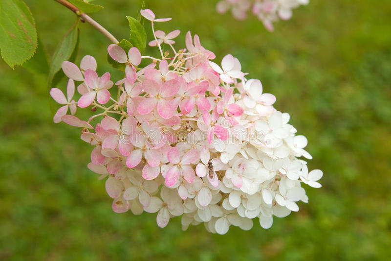 Paniculata Hydrangea στοκ εικόνες με δικαίωμα ελεύθερης χρήσης