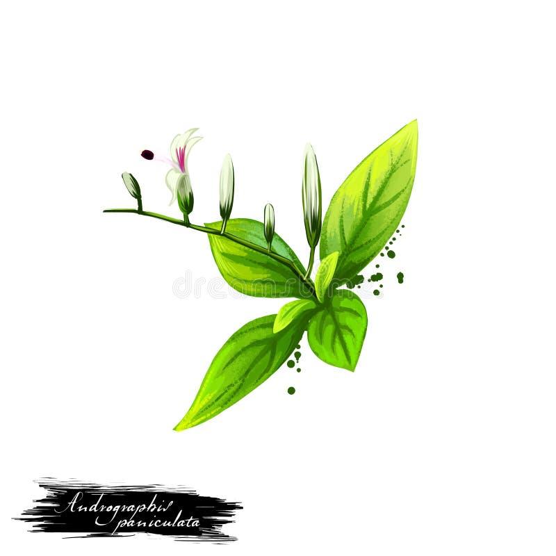 Paniculata Kalmegh - Andrographis ayurvedic Kraut, Blume digitale Kunstillustration mit dem Text lokalisiert auf Weiß Gesundes or lizenzfreie abbildung