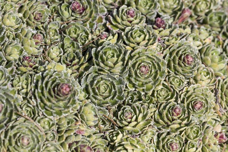 Paniculata Saxifraga, белое saxifrage горы, высокогорное saxifrage, Encrusted saxifrage, серебряное saxifrage стоковая фотография rf