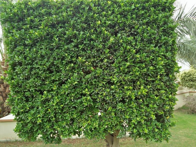 Murraya Paniculata royalty-vrije stock afbeelding
