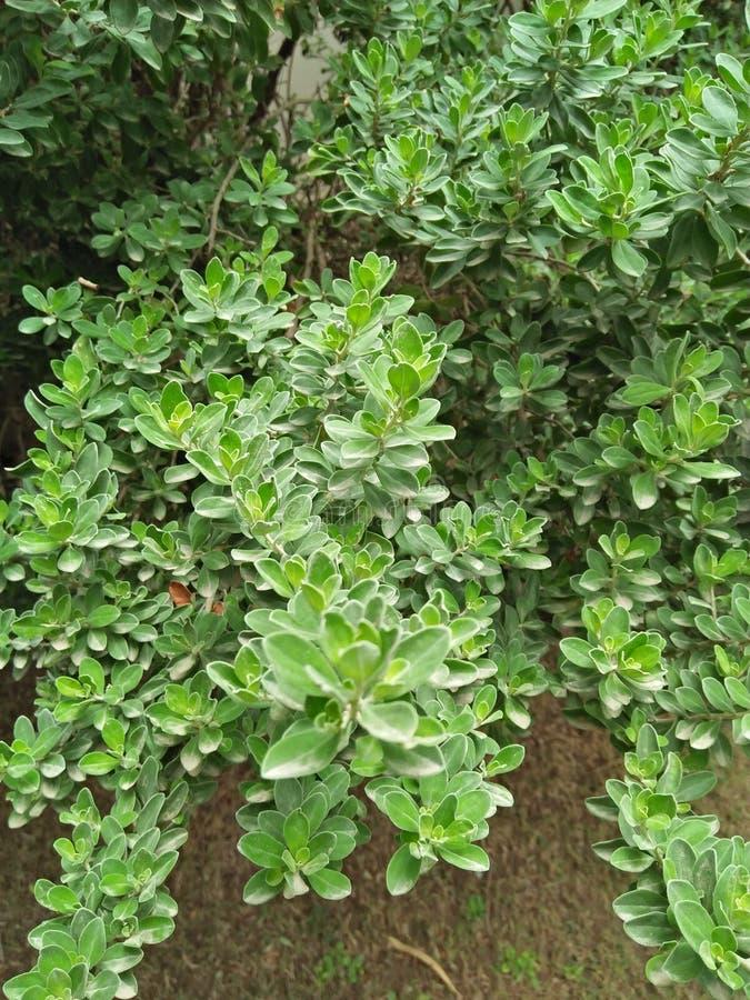 Murraya Paniculata stock foto's