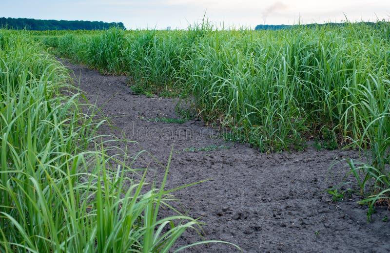 Panicumvirgatum, als switchgrass algemeen wordt bekend die Landbouwproductie stock foto