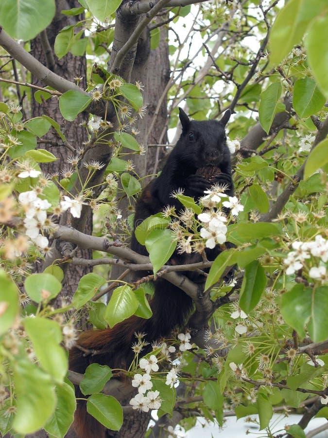Panie wiewiórko