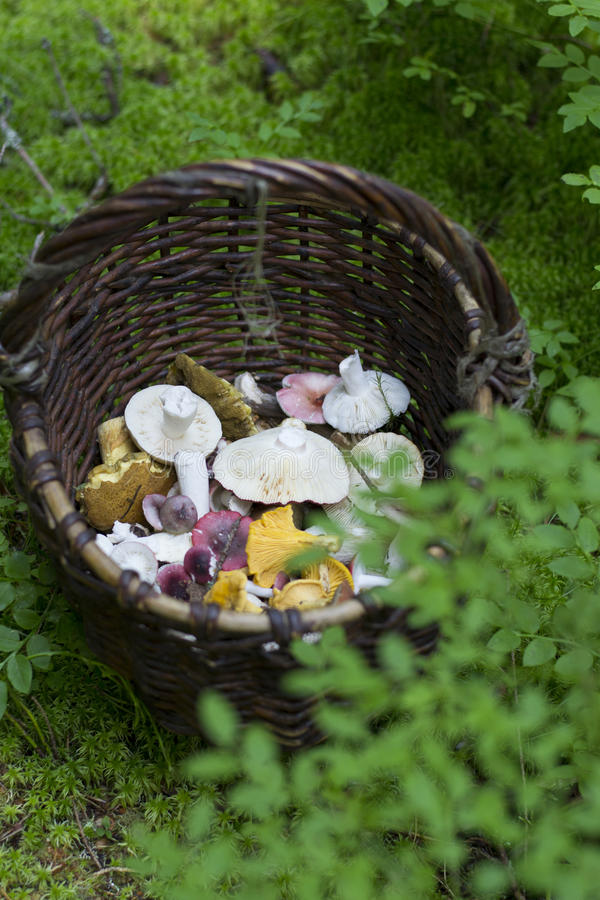 Panier avec des champignons de couche dans la forêt photographie stock libre de droits