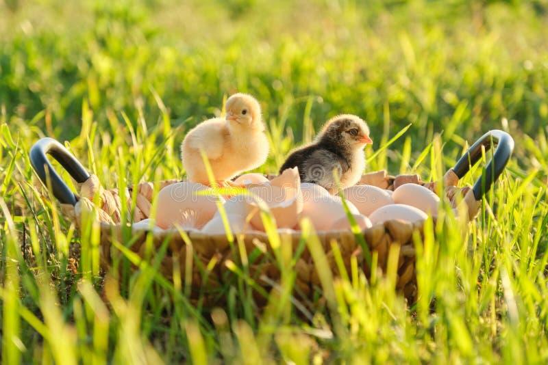 Panier avec les oeufs organiques frais naturels avec deux petits poulets nouveau-nés de bébé, fond de nature d'herbe image libre de droits
