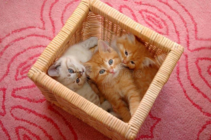 panier de 3 chatons photo libre de droits