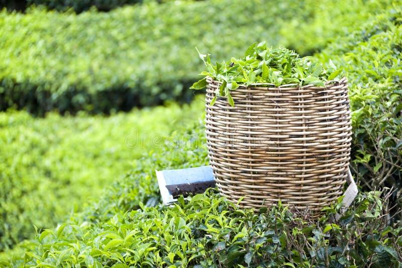 Panier de feuille de thé photos stock