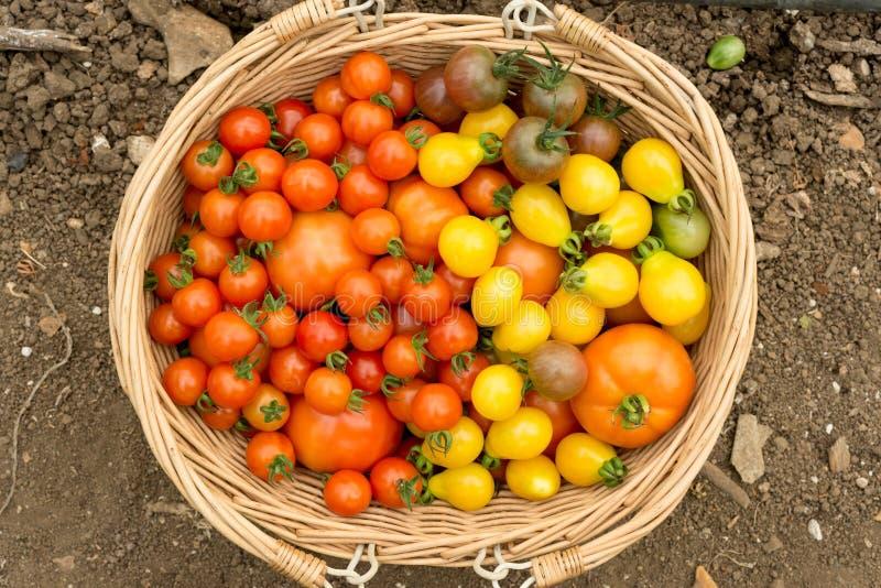 Panier en bois des tomates et du produit organiques brillamment colorés image libre de droits