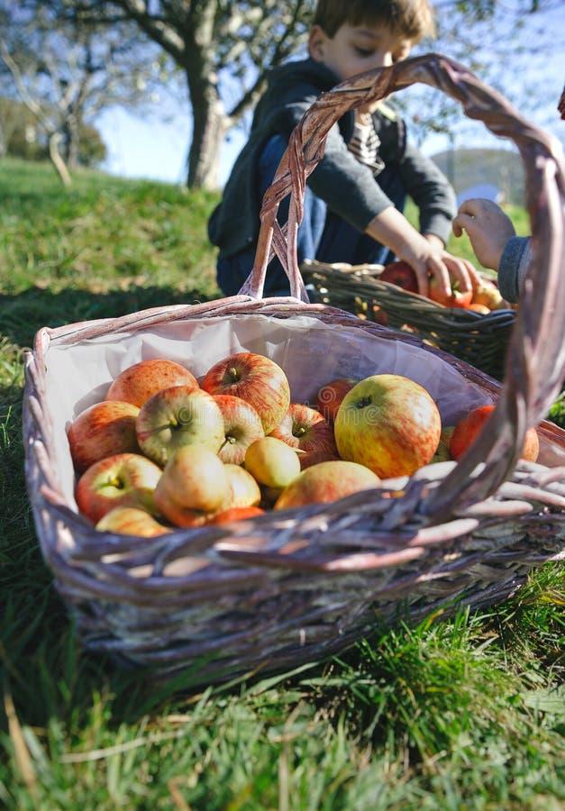 Panier en osier avec les pommes organiques fraîches de la récolte image libre de droits