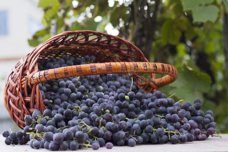 Paniers avec des raisins de nature image stock