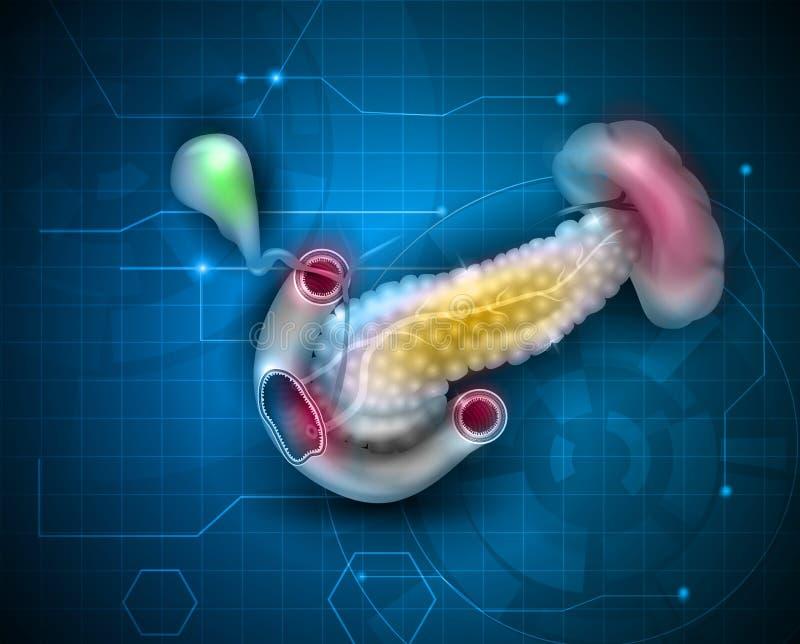 Pankreas vektor abbildung. Illustration von auslegung - 78023865