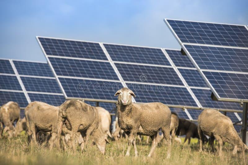 Panneaux solaires avec des moutons images libres de droits