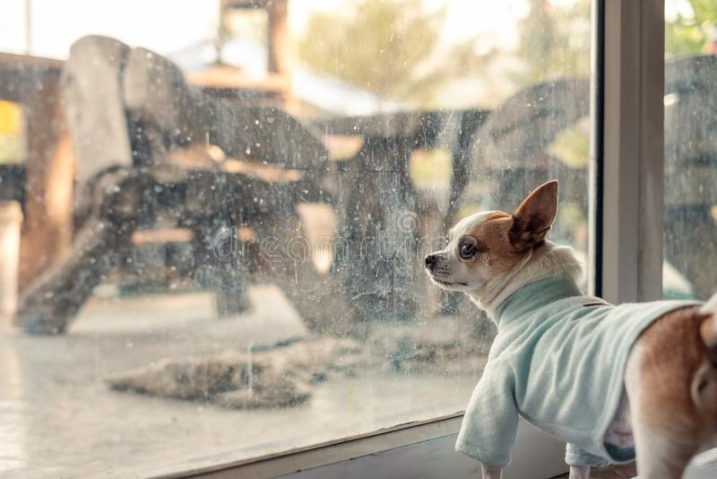 Panno blu di usura del cane della chihuahua che aspetta qualcosa nella sala fotografia stock