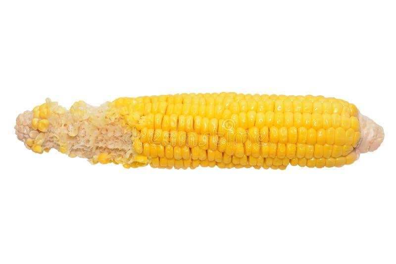 Pannocchia mangiata per metà di succoso giallo bollito del cereale isolata fotografie stock libere da diritti
