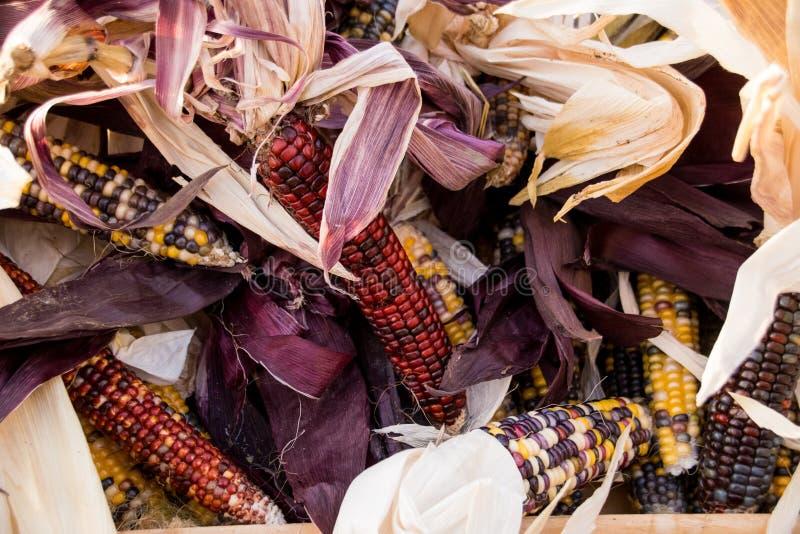 Pannocchie di cereale immagine stock libera da diritti