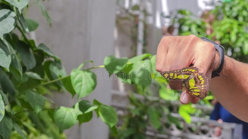Pano Yellow and brown butterfly on the finger of a caucasian male inside a greenhouse. Close up of a small insect inside a sunny tropical garden with green stock image