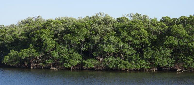 Panorámico de bosque sano del mangle fotos de archivo libres de regalías