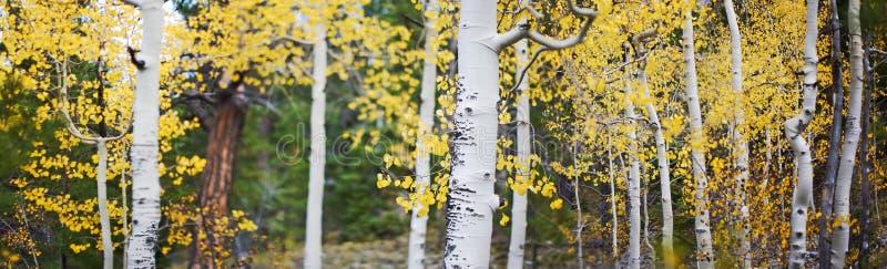 Panorâmico de árvores do álamo tremedor foto de stock