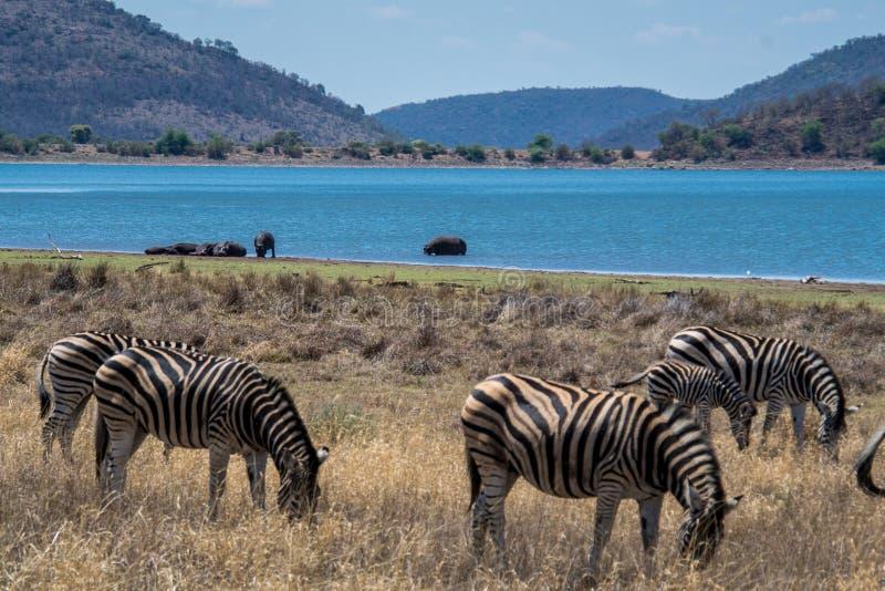 Panorama Afrique du Sud de la savane de zèbres et d'hippopotames avec beaucoup plus de mots image stock