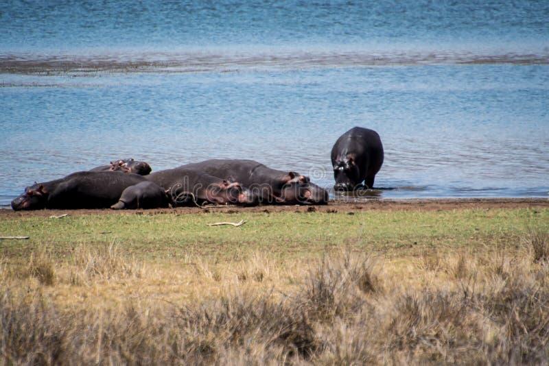 Panorama Afrique du Sud de la savane de zèbres et d'hippopotames de repos d'hippopotame avec beaucoup plus de mots photographie stock libre de droits
