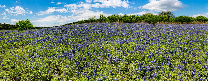 Panorama alto do Res dos campos dos Bluebonnets na curvatura da sapata da mula, Te fotos de stock royalty free