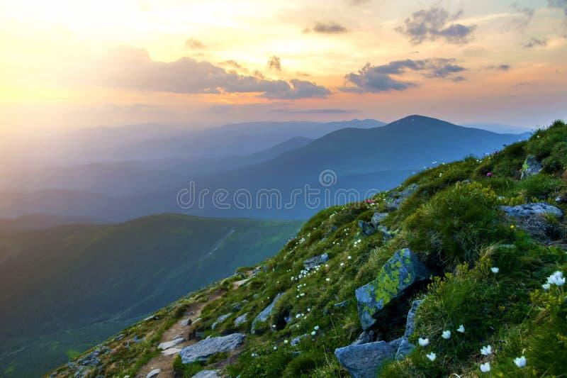 Panorama amplio de la montaña del verano en el amanecer Flores blancas hermosas que florecen en hierba verde entre rocas y cordil foto de archivo