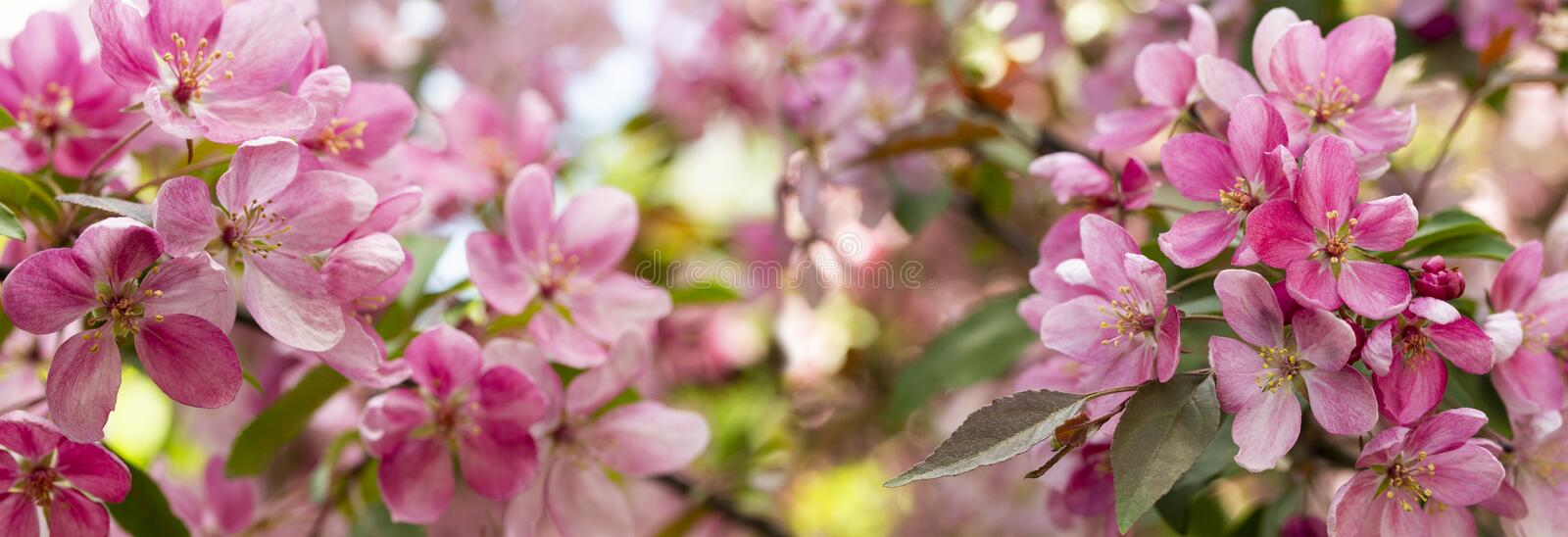 Panorama of apple orchard in bloom. Pink crab flowers of blossoming apple tree. Background Wallpaper royalty free stock photo