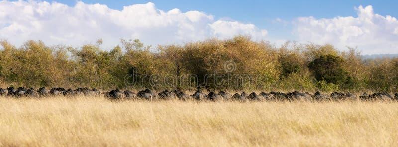 Panorama av den rinnande gnu i masaien Mara royaltyfri fotografi