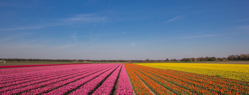 Panorama av ett fält av tulpan i rosa färger, apelsin och guling fotografering för bildbyråer