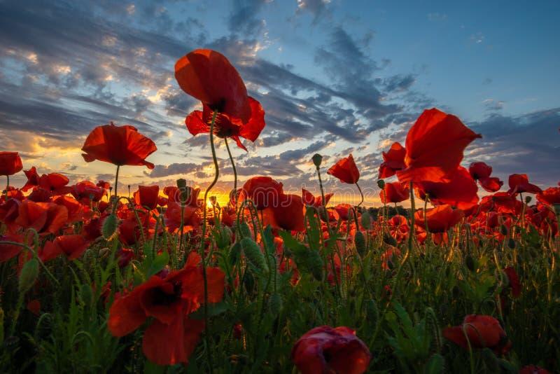 Panorama av ett fält av röda vallmo royaltyfria foton