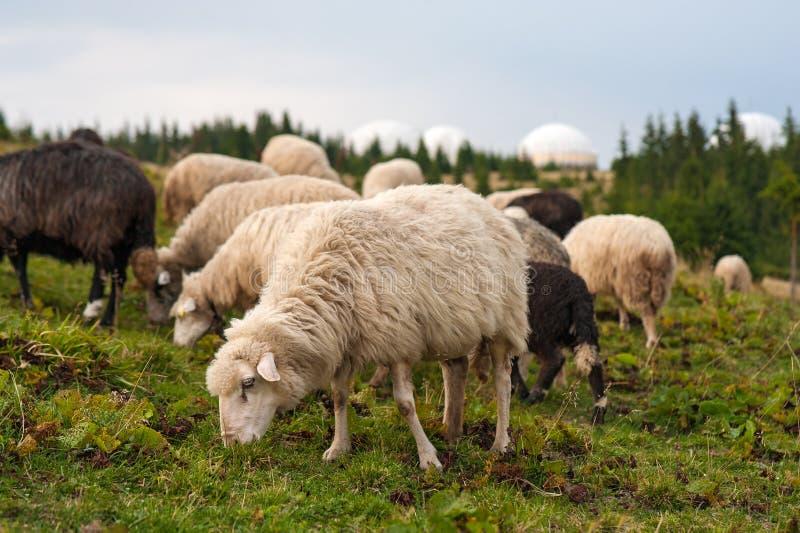 Panorama av landskapet med flocken av fårskrubbsåret på gräsplan betar i bergen royaltyfria foton