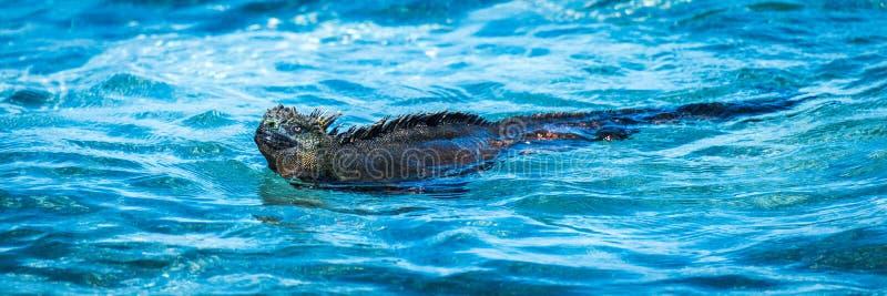 Panorama av simning för den marin- leguanen blir grund in royaltyfria foton