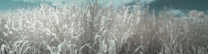 Panorama av sommarcornfielden med blåa himlar i infrared arkivbilder
