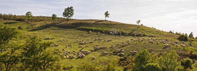 Panorama avec le berger et le troupeau des moutons photos stock