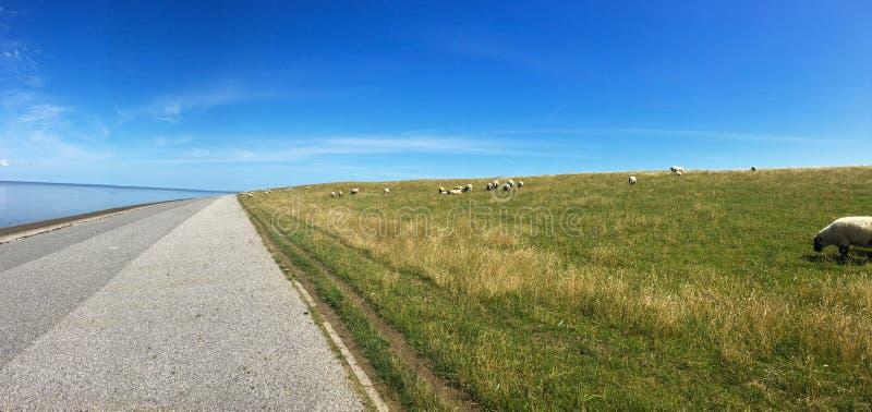 Panorama Barani pasanie na dajku w Wschodnim Frisia Ostfriesland, Niemcy, na morze północne brzeg na pięknym letnim dniu z zdjęcia stock