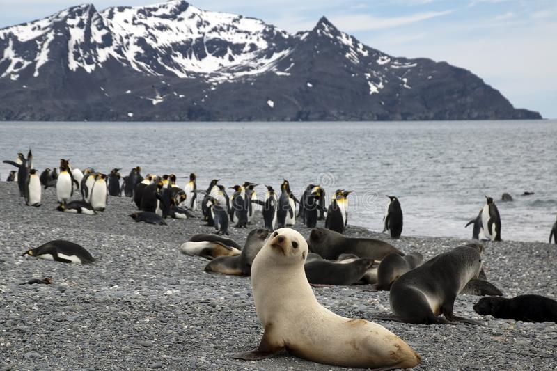 Panorama of beach with antarctic fur seals and penguins stock photo