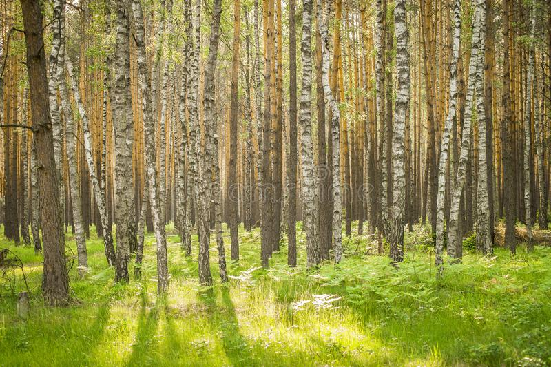 Panorama of beautiful birches in the forest in spring. Panorama of beautiful birches in the forest in the spring in the sunshine royalty free stock images