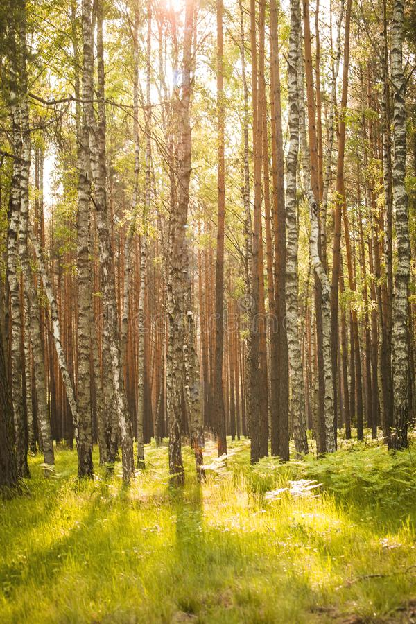 Panorama of beautiful birches in the forest in spring. Panorama of beautiful birches in the forest in the spring in the sunshine stock photo