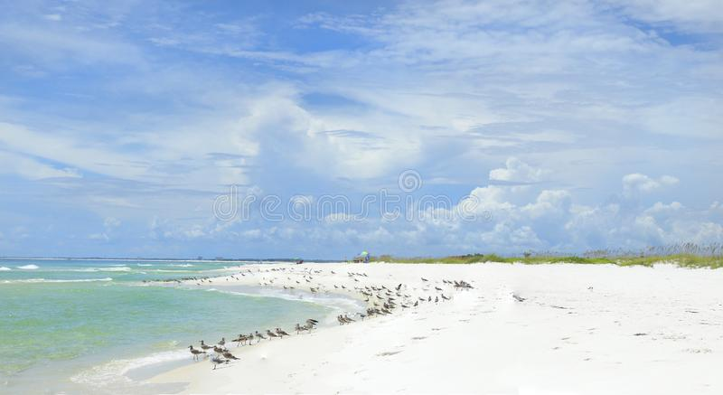 Panorama of the Beautiful White Sand Beach and Wildlife of the Florida Gulf Coast royalty free stock photos
