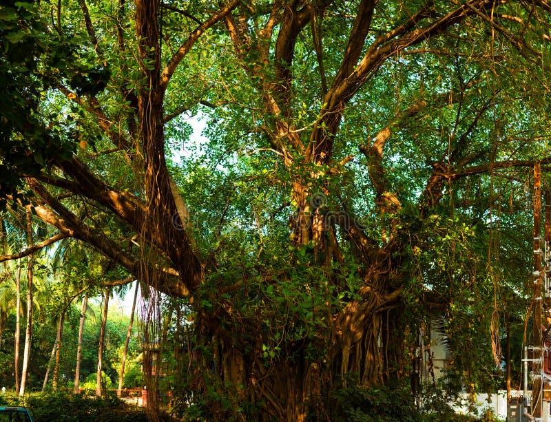 Panorama of the big old tree, India, Goa stock image
