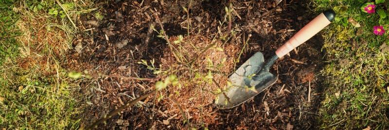 Panorama, blåbärbuske och liten skyffel i trädgården royaltyfri foto