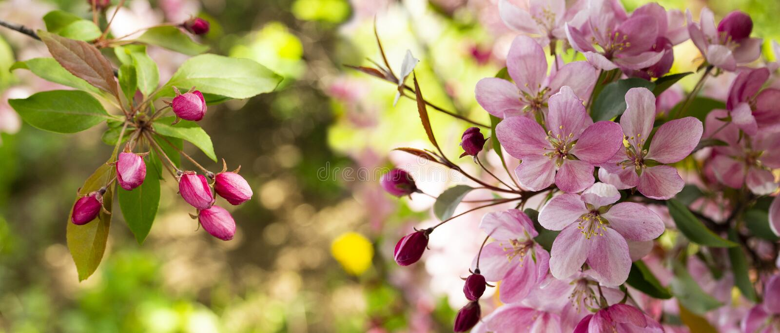 Panorama of a blooming apple tree with pink crab flowers and unopened buds. Background wallpaper banner header site stock photo