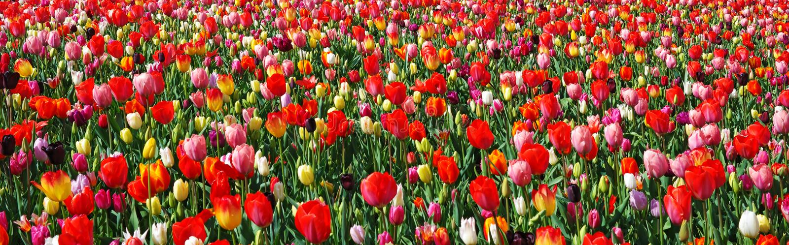 Panorama of blooming colorful tulips, Netherlands royalty free stock photography