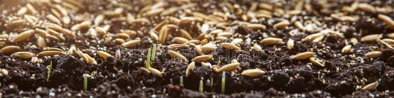 Panorama, brotes del germen que crecen en el suelo, plantando hierbas foto de archivo libre de regalías